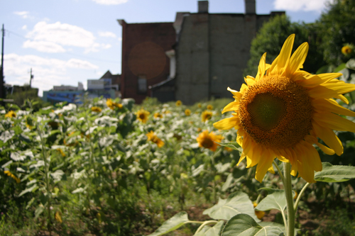 gtech_sunflower_uptown09