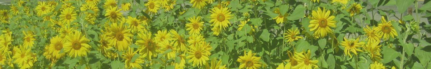 Sunflowers_ProjectBanner